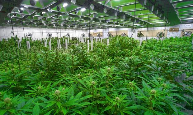 Marijuana farm/Credit: Canna Obscura/Shutterstock.com