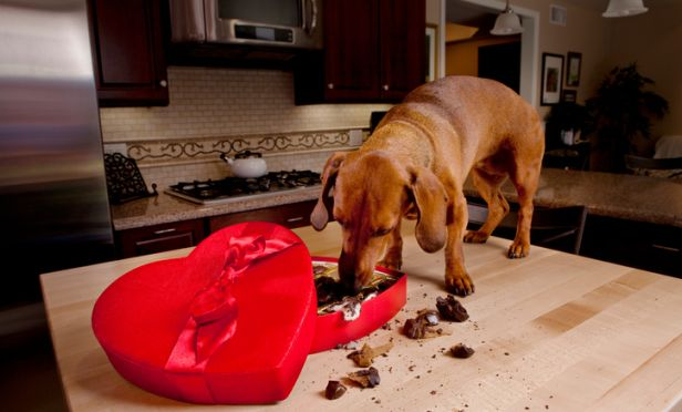 Dog eating chocolates