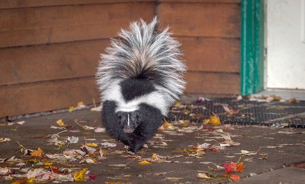 Skunk odor must be chemically altered in order to be removed; it generally does not simply 'air out.' (Photo: Shutterstock)