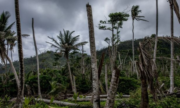Palm trees damaged by Hurricane Maria
