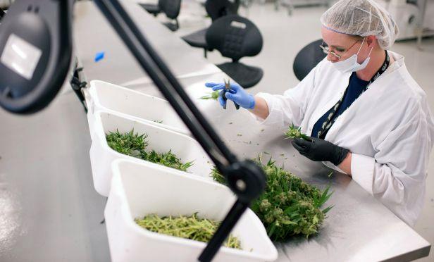 Employee manually trims medical marijuana plants