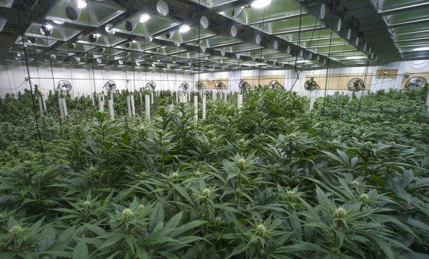 Marijuana farm.