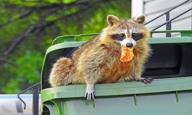 There may be a difference in the way raccoon damaged is covered (or not) based on when a homeowners' policy was issued. (Shutterstock)