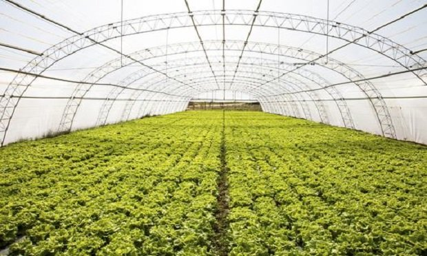 Industrial lettuces cultivation in a hothouse. In 2018, the CDC issued a warning about romaine lettuce after E. coli cases were reported in Alaska. (Photo: Fotolia)