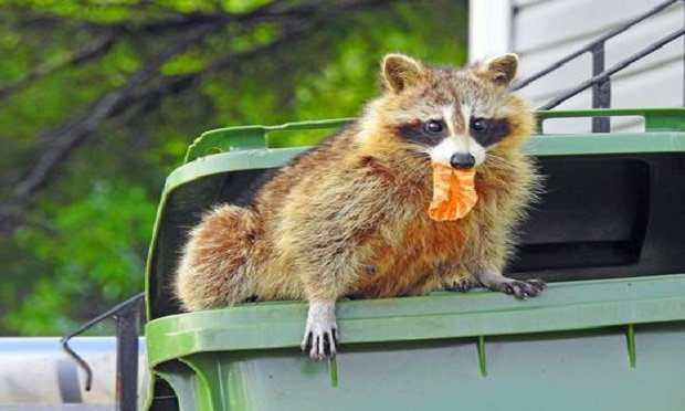 """A Pennsylvania court has ruled that an insured's claim that its dwelling had been damaged by raccoons engaging in """"vandalism and malicious mischief"""" was not covered by its insurance policy. (Photo: Shutterstock)"""