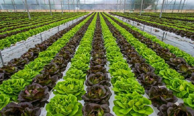 The 2020 Leafy Greens STEC Action Plan presents a three-pronged approach to prevent the contamination of leafy greens. (Photo: Shutterstock)