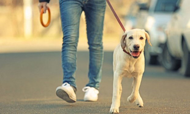 In the case from Tasmania, the employer disputed the claim, as the man was walking his dog when he was injured, and argued that the injury did not arise out of or in the course of employment.(credit: Africa Studio/Shutterstock.com)