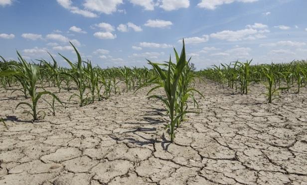 Crops in a bone-dry field