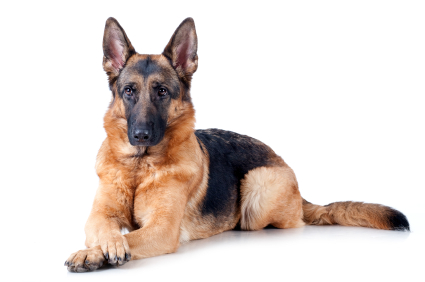 Dangerous Dogs: German Shepherd