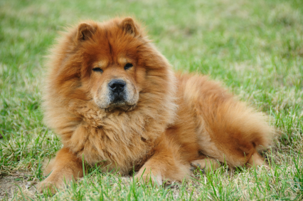 Dangerous Dogs: Chow Chow