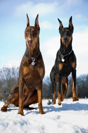 Dangerous Dogs: Doberman Pinscher