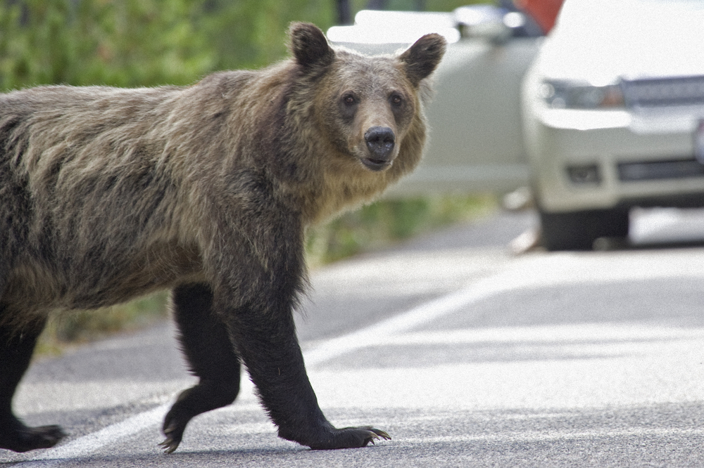 Grizzly bear on highway