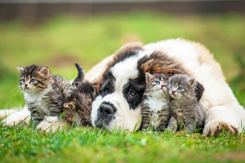 St-Bernard-puppy-with-3-kittens-SS-Rita Kochmarjova
