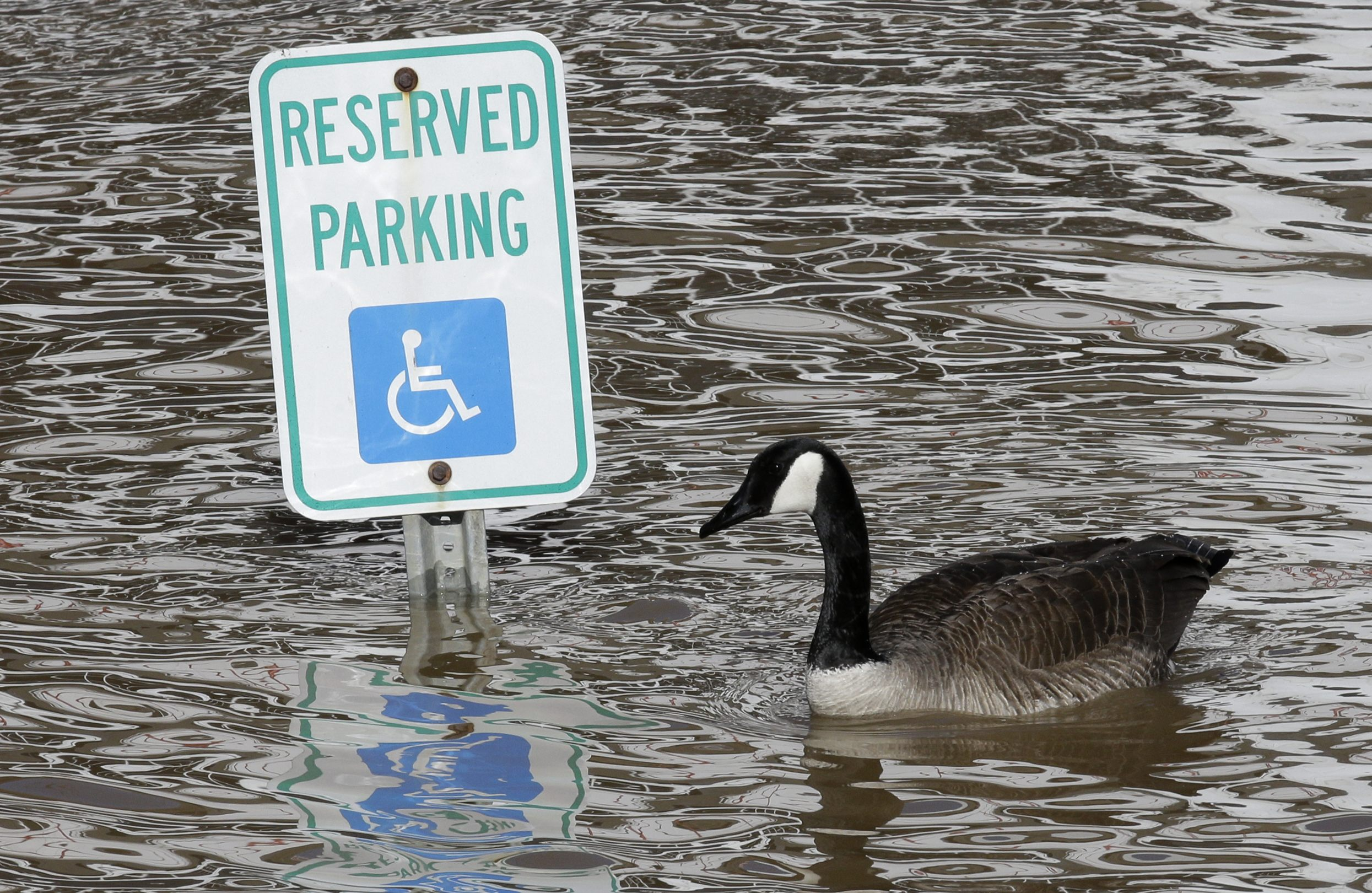 A Canada goose floats past a handicapped parking sign in a parking lot covered by the rising Ohio River, Monday, Feb. 24, 2014, in Cincinnati.