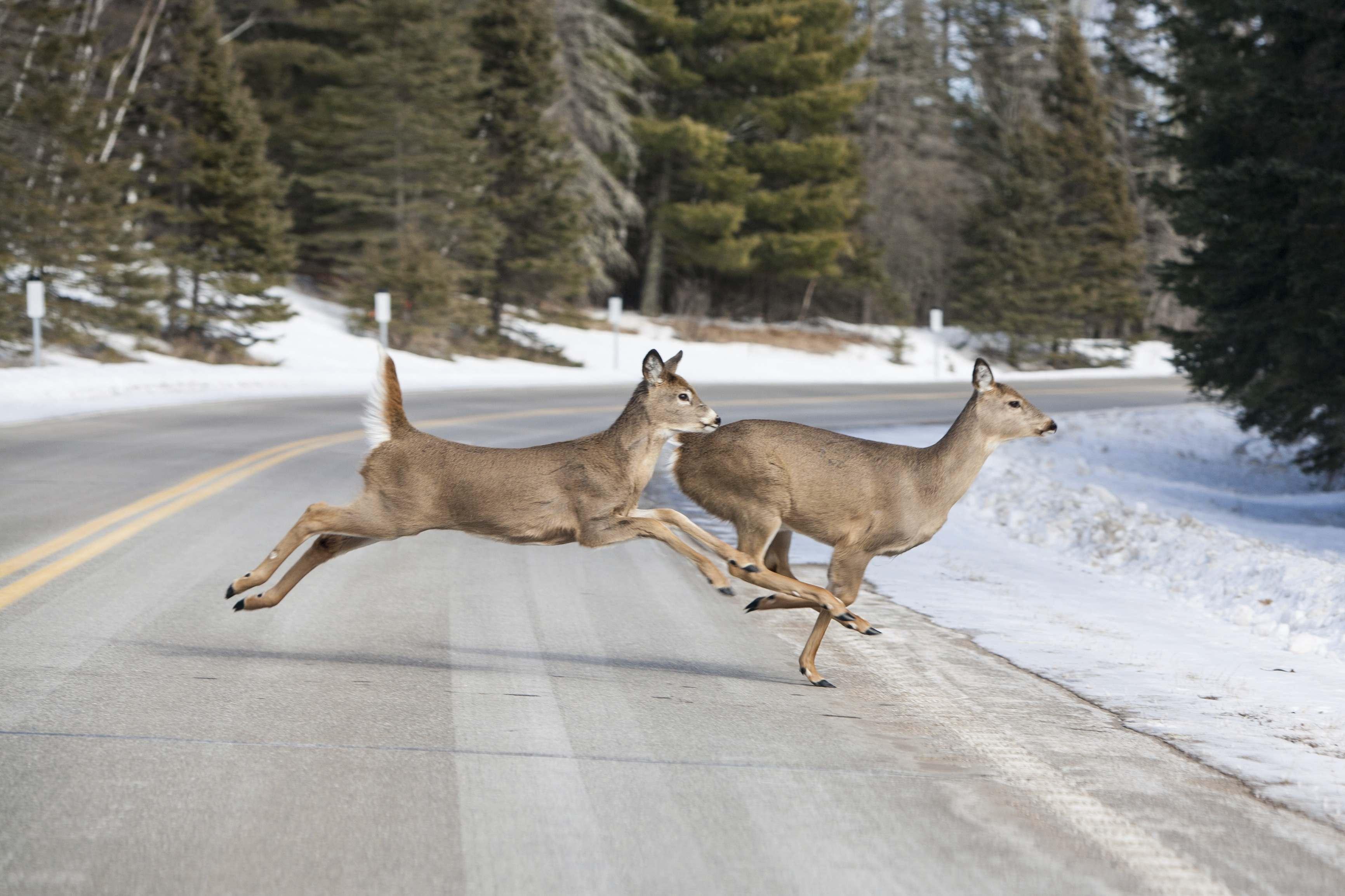 2 deer running across the road