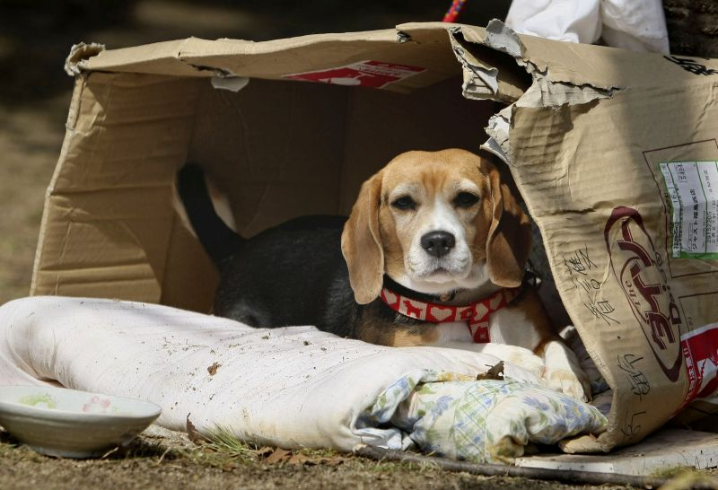 Luna, a beagle, sits in her makeshift home at an evacuee center