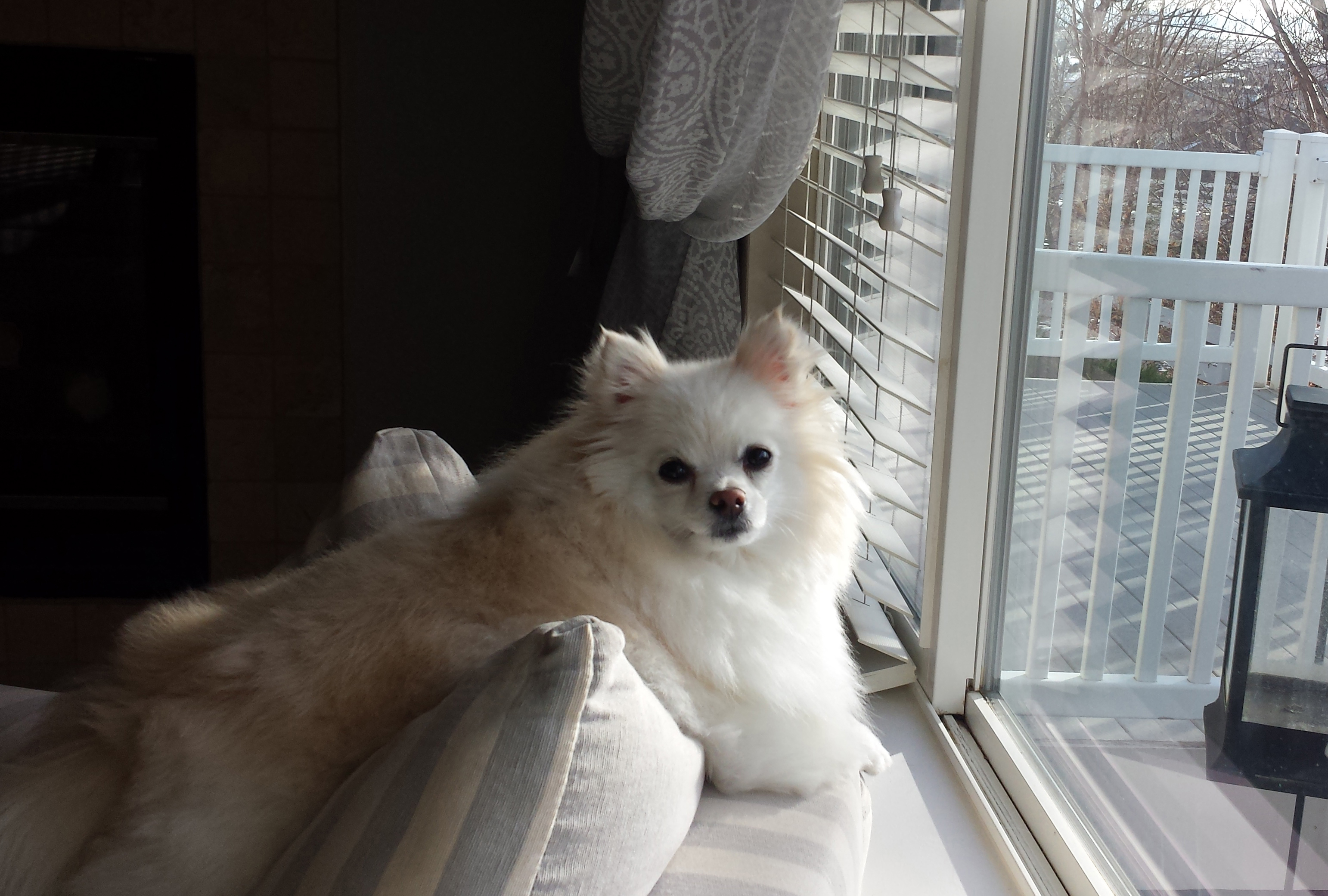 Pomeranian on back of couch looking out window