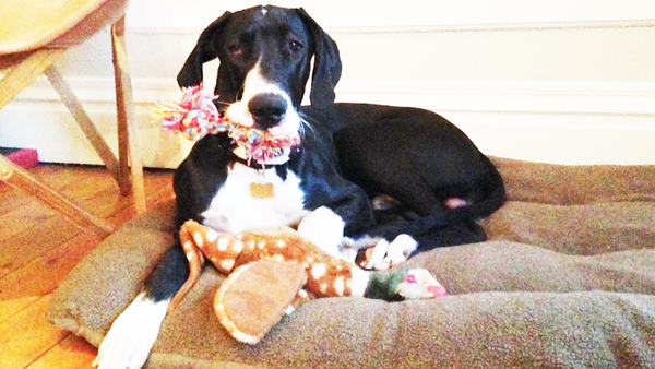 Porter is focused on his own toys and is being kept away from fireworks, debris and other items that could be dangerous to him. (Contributed photo: N. Morford)