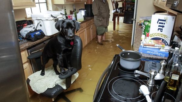 Rowdy the dog finds refuge on an office chair in Harvey Cook's flooded home in Hammond, La., Friday, March 11. (Photo: Scott Threlkeld/AP Photo)