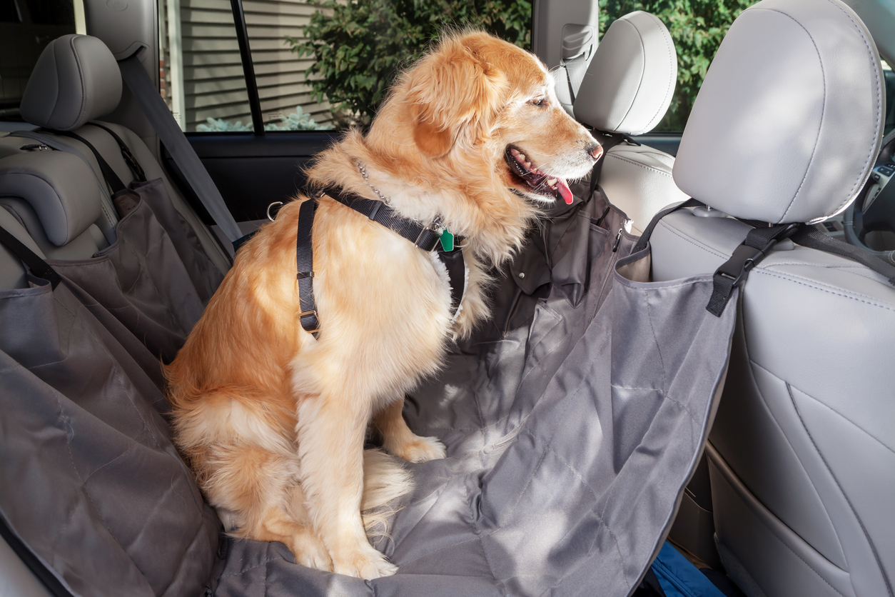 Golden retriever in car wearing seat belt