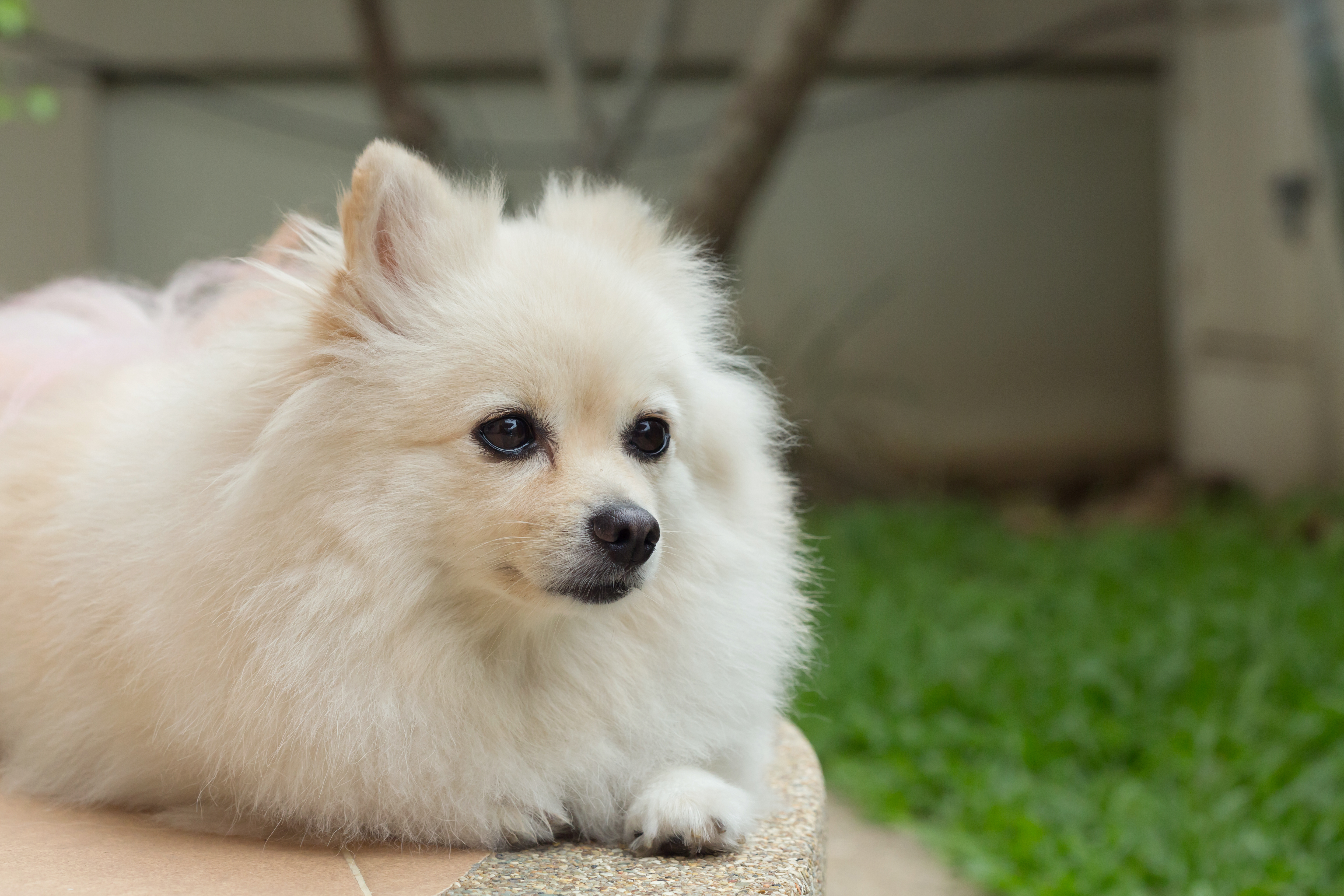 Small white fluffy dog outdoors